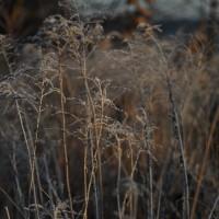 Riedgräser